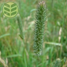 Tymotka łąkowa
